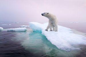 polar-bear-climate-change-story-1200_78250_990x742